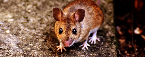 mouse-2308339_1920
