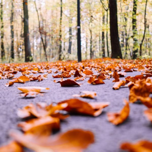 Lot Of Dry Autumn Maple Leaves Fallen On The Ground Surrounded By Tall Trees On A Blurred Background